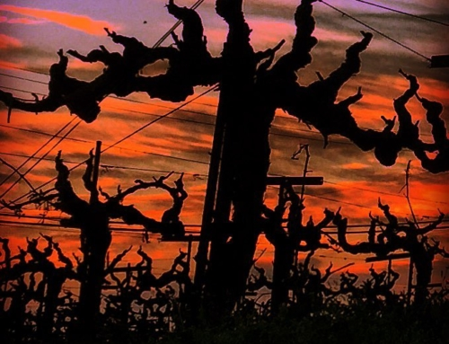 Wine Photo of the Week: Vineyard at Sunset