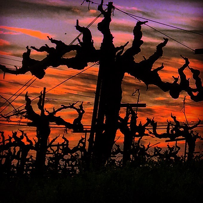 Wine vine at sunset