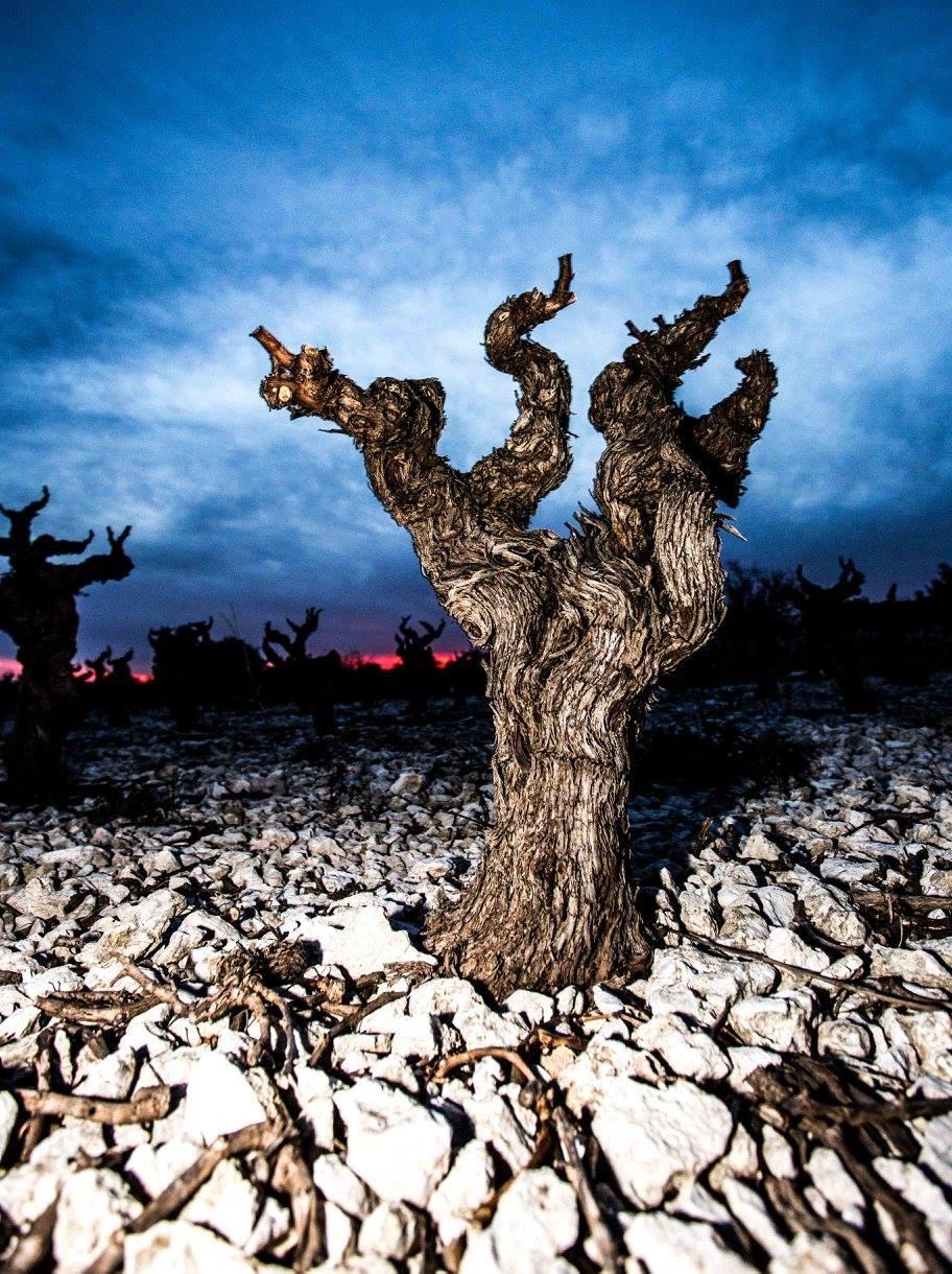 Old Vine at Dusk