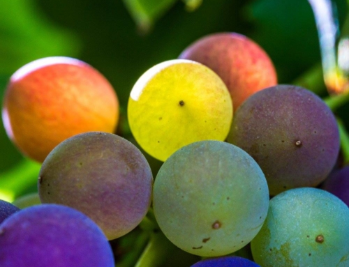 Wine Photo of the Week: Veraison