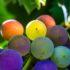 Wine Photo of the Week: Veraison