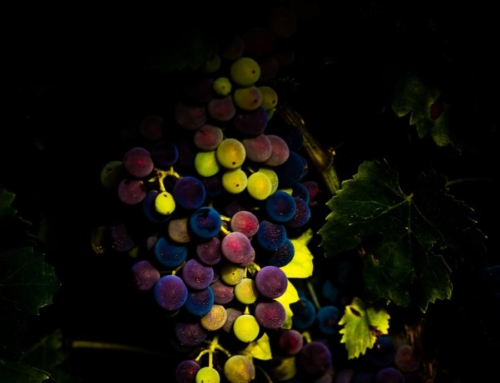 Wine Photo of the Week: Ripening in Languedoc