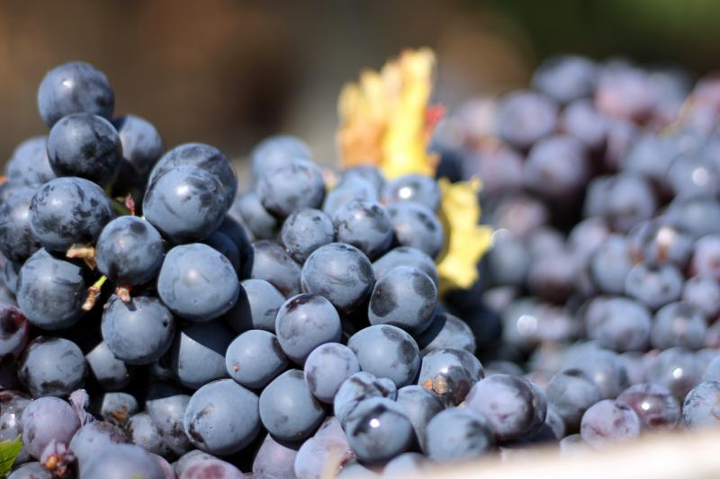 Chateau Thuerry grapes at harvest