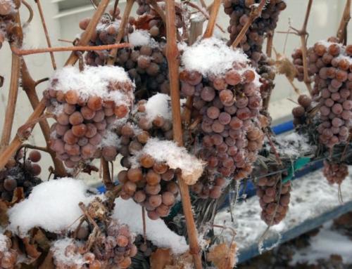 2014 Koenig Vineyards Botrytis Single Berry Select Late Harvest Riesling, Williamson Vineyard, Idaho