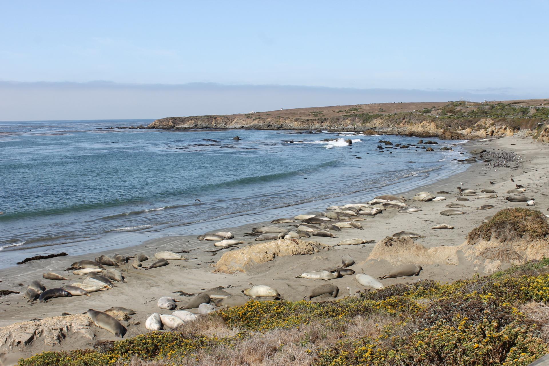 Seals in San Simeon